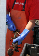 WHOLE MAINE LOBSTER - See the Live Lobster at MJs Raw Bar and Grille in New Bern, North Carolina.